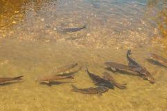 Fishs in un piccolo lago Fotografia Stock