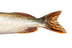 Fishtail of big pike isolated over white. Background Stock Photos