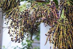 Fishtail palm royalty-vrije stock afbeelding