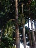 Fishtail palm Royalty Free Stock Photo