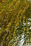 Fishtail Palm Closeup Royalty Free Stock Image