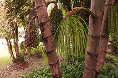 Fishtail palm, native to South East Asian Stock Photography