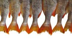 fishtails Fotografia Stock