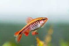 Fishtank风景用红色橙色鱼樱桃巴勃 有母Puntius titteya宠物的热带淡水水族馆 免版税库存照片