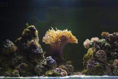 Fishtank. Empty fish tank with an anemone illuminated and some rocks stock photography