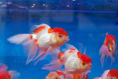 Fishtank with goldfish. In Thailand royalty free stock images