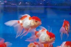 Fishtank with goldfish Royalty Free Stock Images