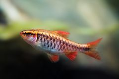 Fishtank landscape with red orange fish cherry Barb. Tropical freshwater aquarium with female Puntius titteya pet. Belonging to the family Cyprinidae Stock Photo