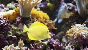 Fishy, Fishy!. Yellow fish along corals, anemonas stock images