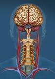 Fisiología del flujo sanguíneo cerebral Stock Image