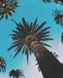 Fisk-öga palmträd Arkivfoton