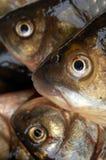 fisk Royaltyfri Foto