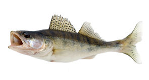 Fisk Royaltyfri Bild