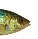 Fisk Arkivbilder