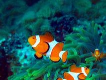 Fisk-clown Arkivfoto