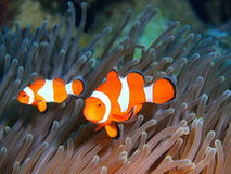 Fisk-clown fotografering för bildbyråer