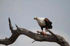 Fisk Eagle arkivfoton