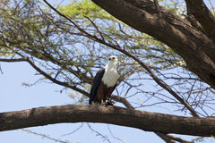 Fisk Eagle på sjön Baringo, Kenya Fotografering för Bildbyråer
