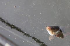 Fisk fångat på kroken Fotografering för Bildbyråer