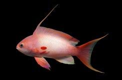 fisk för anthiasbakgrundsblack Royaltyfri Foto