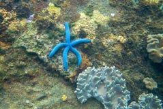 Fisk för blå stjärna på den lantliga stenen för korallrev Undervattens- foto för tropisk sjöstjärna Exotiskt akvariumdjur arkivfoto
