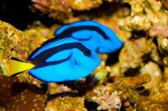 Fisk för blåttTangkirurg Royaltyfri Bild