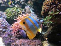 Fisk för Copperband saltvattensfiskfjäril royaltyfri fotografi