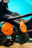 Fisk för diskus tre Arkivbilder