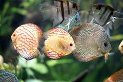 Fisk för duvabloddiskus - Symphysodon aequifasciatus royaltyfri bild