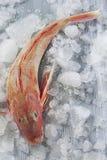 Fisk för röd multefiskar som isoleras på grå bakgrund royaltyfri bild