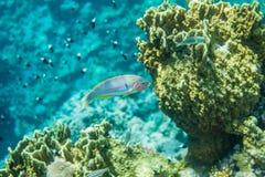 Fisk för Röda havetkorallrev Royaltyfria Bilder