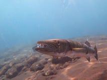 Fisk för stor barracuda i havet Bali Arkivbilder