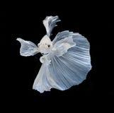 Fisk för stridighet för vit Platt platina Siamese Vit siamese fighti arkivbild