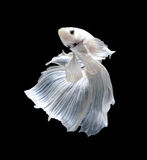 Fisk för stridighet för vit Platt platina Siamese Vit siamese fighti fotografering för bildbyråer