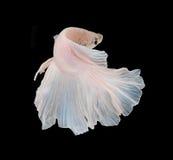 Fisk för stridighet för vit Platt platina Siamese Vit siamese fighti arkivfoton
