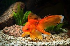 Fisk Guldfisk i akvarium med gröna växter och stenar Arkivbild