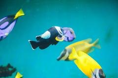 Fisk i akvariet Arkivfoto