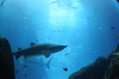 Fisk i akvariet Royaltyfria Foton