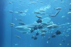 Fisk i akvariet Royaltyfri Bild