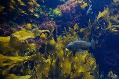 Fisk i akvarium Fotografering för Bildbyråer