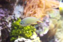 Fisk i akvarium Arkivfoto