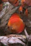 Fisk i akvarium Arkivfoton