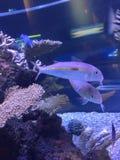 Fisk i akvarium med koraller royaltyfria foton