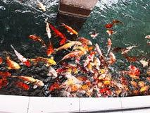 Fisk i ett litet damm royaltyfri foto