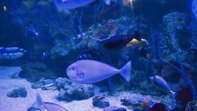 Fisk i ett stort akvarium lager videofilmer