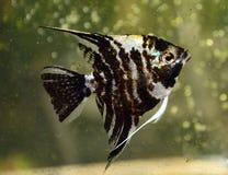 Fisk i förorenat vatten Arkivbild