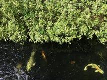 Fisk i pölen royaltyfri fotografi