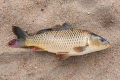 Fisk i sanden, Fotografering för Bildbyråer