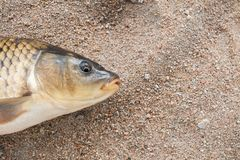 Fisk i sanden, karp, Arkivbilder