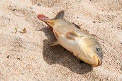 Fisk i sanden, karp, Arkivfoton